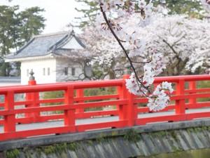 小田原城の桜その1