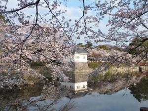 小田原城の桜その3