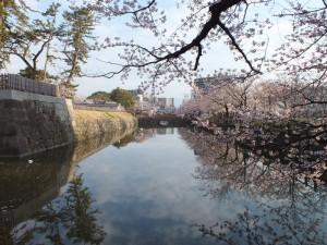 小田原城の桜その4