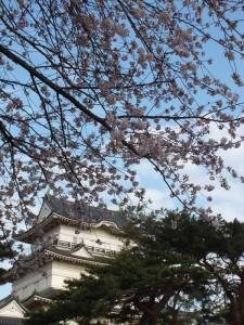 小田原城の桜その6