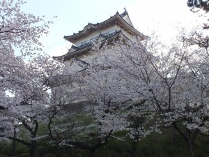 小田原城の桜その7