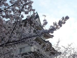 小田原城の桜その8