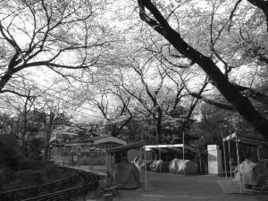 小田原城の桜その9