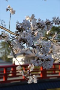 二の丸堀周辺の桜1