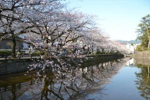 二の丸堀周辺の桜3