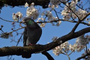 二の丸堀周辺の桜4