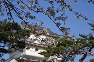 本丸の桜1