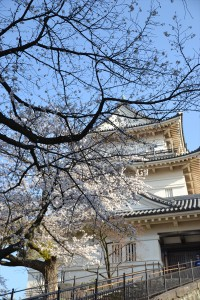 本丸の桜2