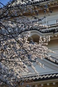 本丸の桜3