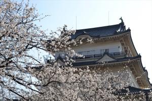 屏風岩の桜2