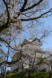 屏風岩の桜3