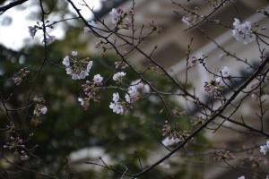 小田原城の桜(様子見編)1