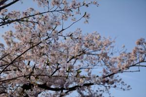 お堀端通りの桜その一