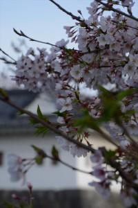 隅櫓と桜その二