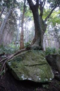 石垣用石材とそこに根を張った木