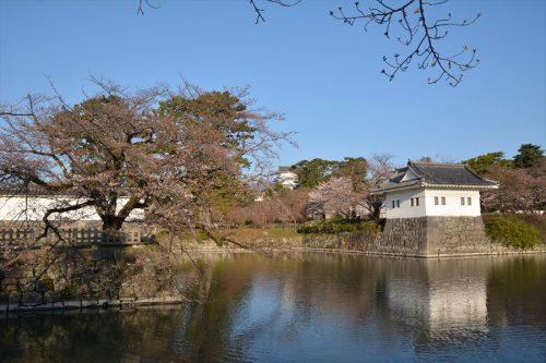 小田原城の桜(3月25日)#1