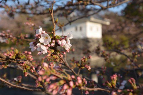 小田原城の桜(3月25日)#2