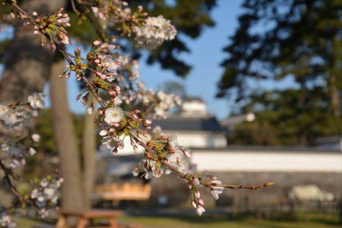 小田原城の桜(3月25日)#3