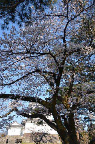 小田原城の桜(3月25日)#4