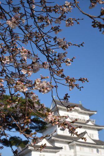 小田原城の桜(3月25日)#5