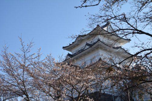 小田原城の桜(3月25日)#6