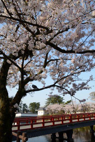 小田原城の桜(3月31日)#1