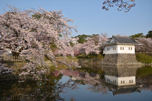 小田原城の桜(3月31日)#2