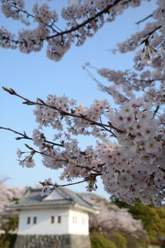 小田原城の桜(3月31日)#3