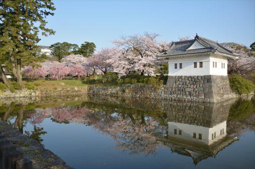 小田原城の桜(3月31日)#4