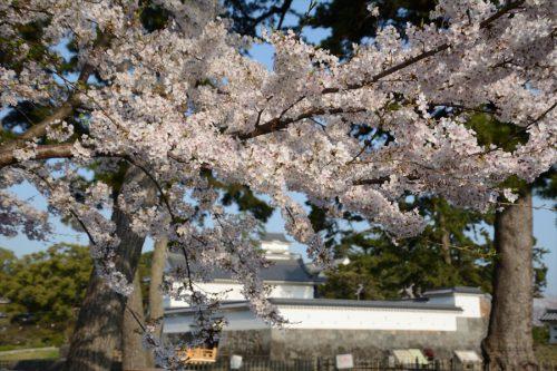小田原城の桜(3月31日)#5