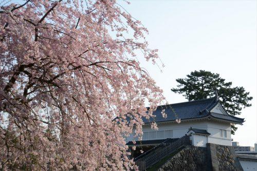 小田原城の桜(3月31日)#6