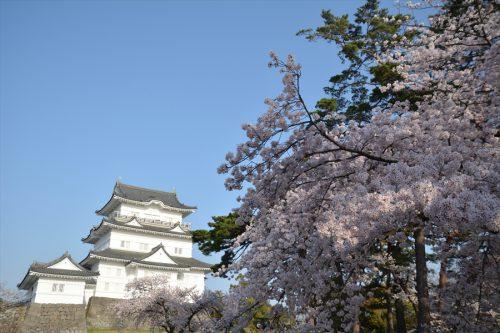 小田原城の桜(3月31日)#7