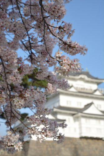 小田原城の桜(3月31日)#8