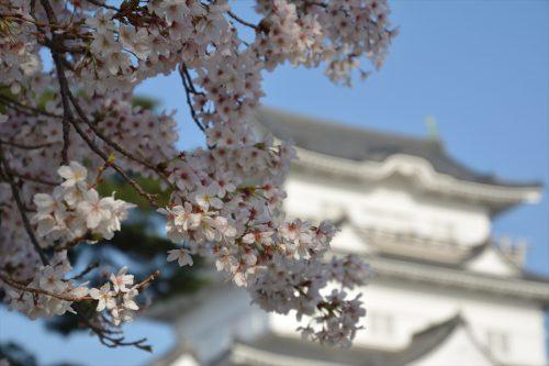 小田原城の桜(3月31日)#9