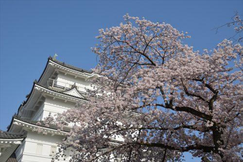 小田原城の桜(3月31日)#10
