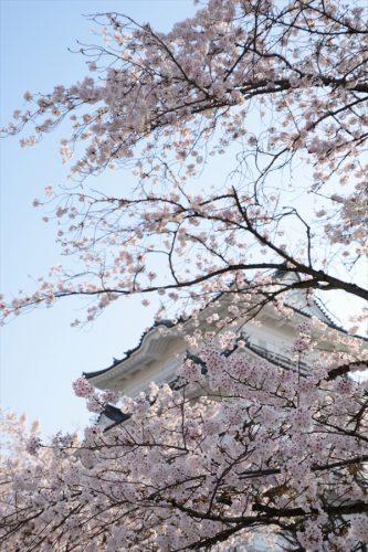 小田原城の桜(3月31日)#11