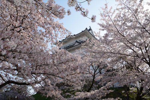 小田原城の桜(3月31日)#12