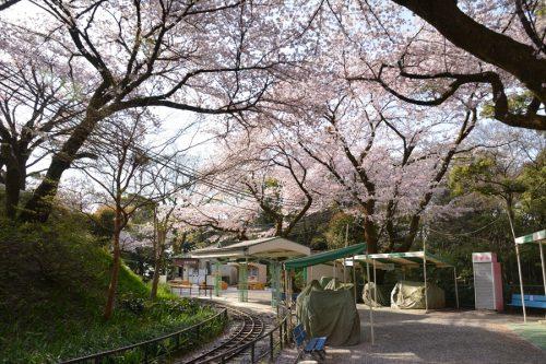 小田原城の桜(3月31日)#13
