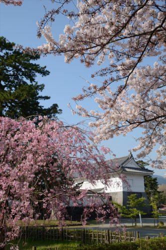 小田原城の桜(3月31日)#14
