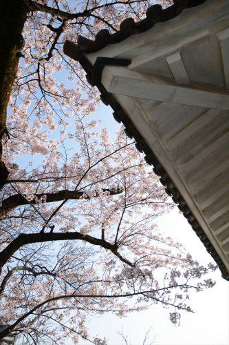 小田原城の桜(3月31日)#15