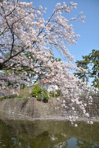 小田原城の桜(3月31日)#16